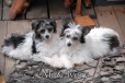 Chinese Crested, 3 & 4 months, Black and White